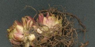 Луковица лилии