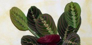 Маранта беложилковатая (Maranta leuconeura)