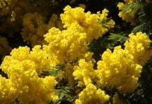 Цветок «мимоза», или Акация серебристая