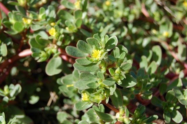 Портулак огородный (Portulaca oleracea)