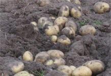 Как картошка из дворянской кареты перекочевала в крестьянский огород