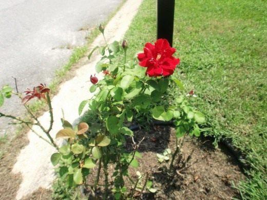 В августе можно пересаживать розы