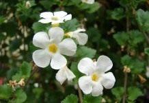 Бакопа – уникальное комнатное растение