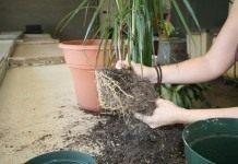 Пересадка и перевалка комнатных растений
