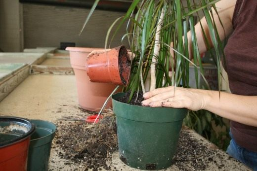 дни посадки и пересадки комнатных растений