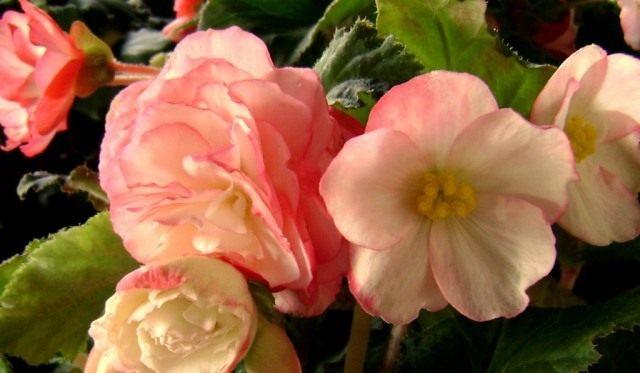 Бегония клубневая (Tuberous begonias)