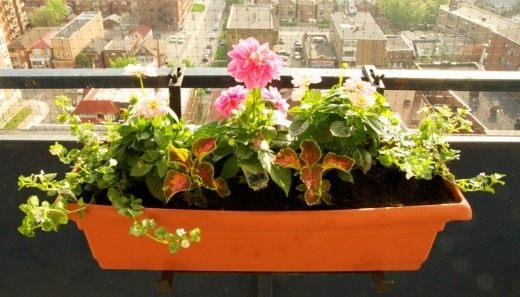 Георгина на балконе