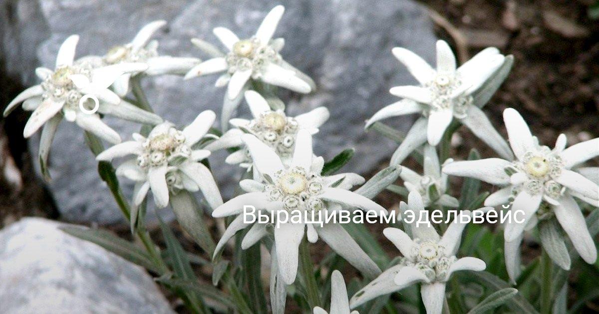 Какие виды эдельвейса подойдут для цветоводов