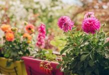 Георгина садовая на балконе