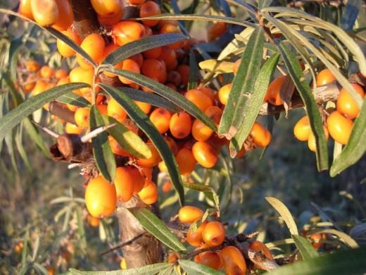 Облепиха (Sea-buckthorn)
