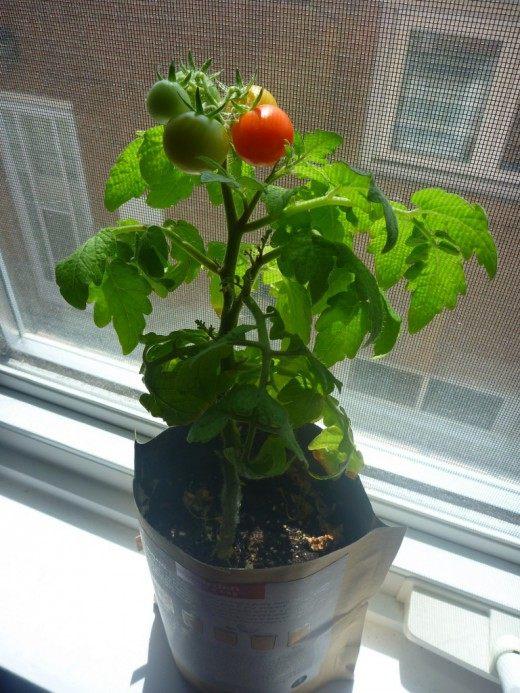 Томат выращиваемый на подоконнике