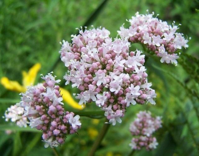 Соцветия валерианы лекарственной