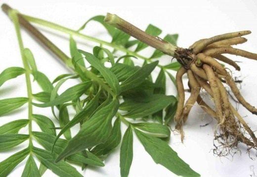 Стебель и корень валерианы лекарственной, или кошачьей травы (Valeriana officinalis)