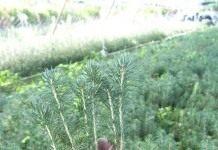 Как вырастить голубую ель из семян?