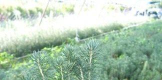 Сеянцы голубой ели