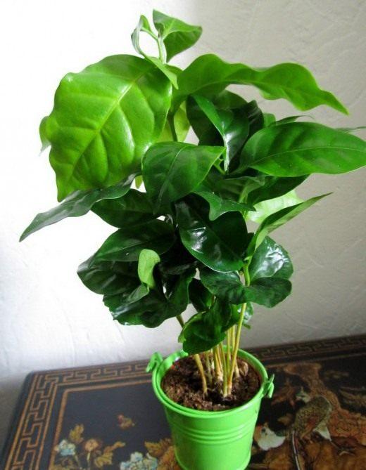 Кофе аравийский (Coffea arabica)
