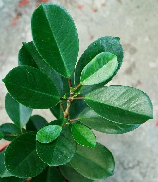 Фикус каучуконосный, или Фикус эластичный (Ficus elastica)