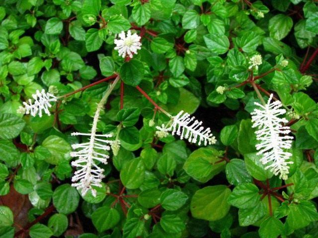 Пеперомия резедоцветная, или Фрезера (Peperomia fraseri)