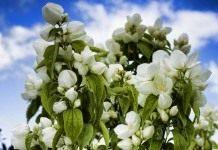 «Садовый жасмин», или Чубушник