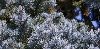 Ель голубая, или Ель колючая (Picea pungens)