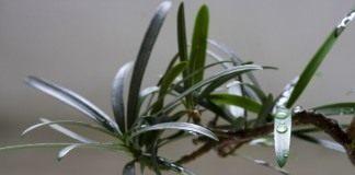 Ветвь подокарпа или ногоплодника