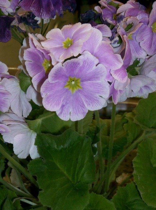 Примула обконика (Primula obconica)