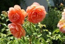 Мокрый способ посадки роз в открытый грунт