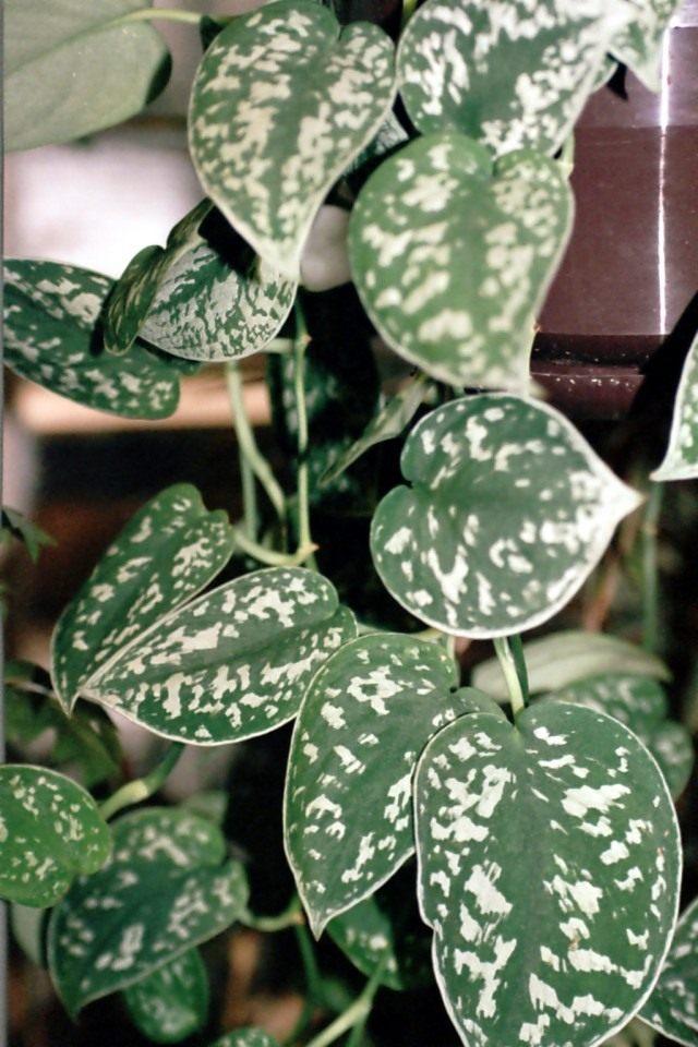 Сциндапсус расписной (Scindapsus pictus)
