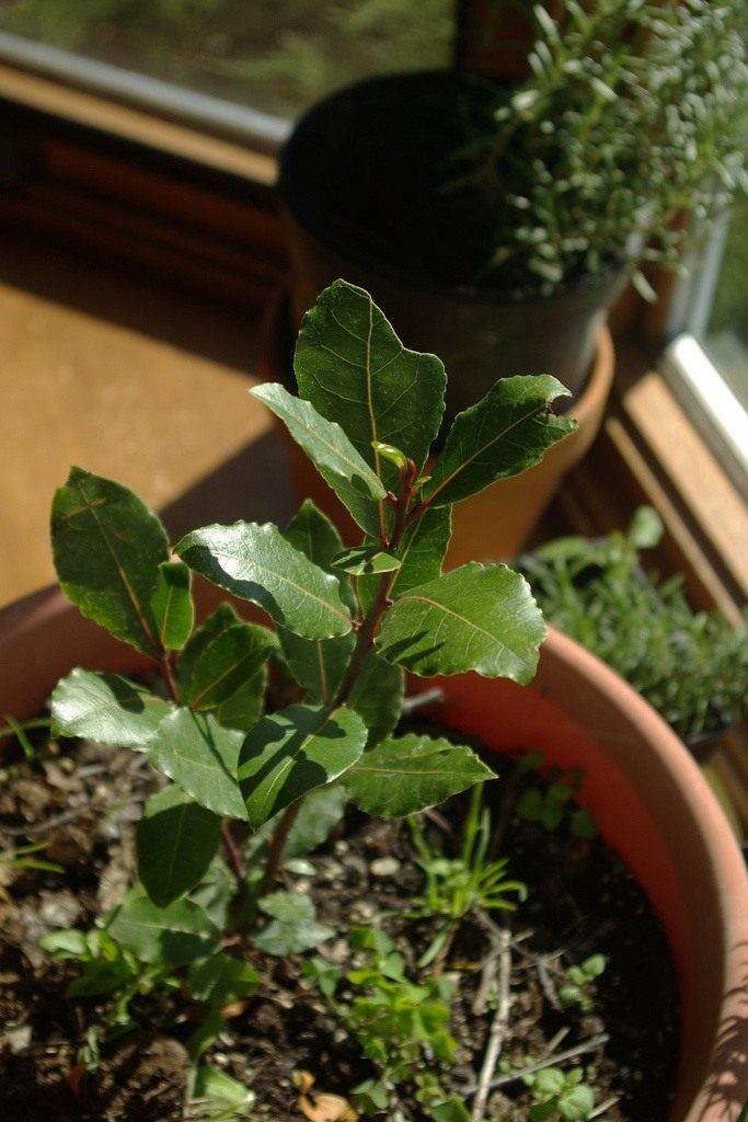 Лавр уход и выращивание в саду