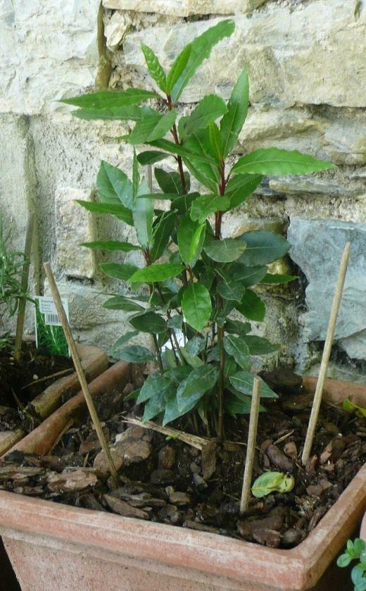 Лавр уход и выращивание в саду 90