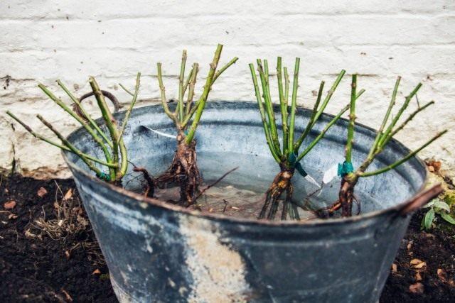 Замачиваем корни роз в питательном растворе