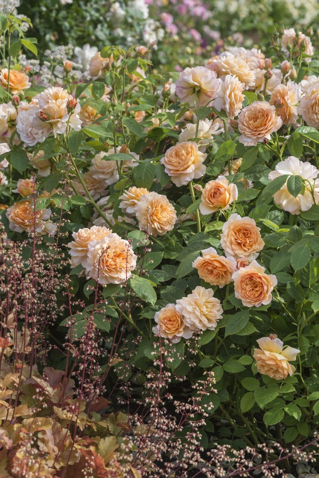 Как посадить розу в августе
