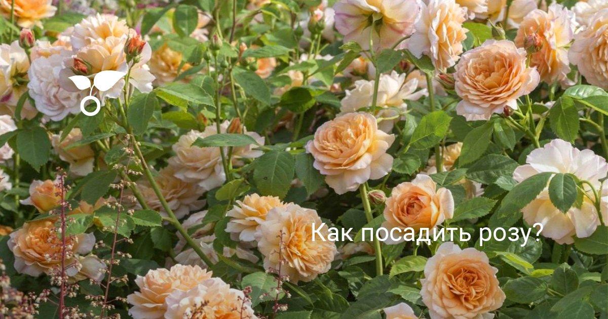 Как правильно посадить розу — Цветы365