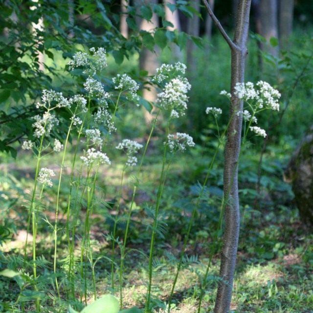 Валериана лекарственная (Valeriana officinalis)