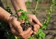 Выбор места и подоготовка почвы для ягодников