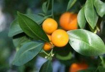 Миниатюрный апельсин