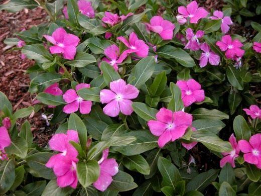 Катарантус розовый, или Барвинок розовый (Colchicum autumnale)