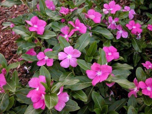 Катарантус розовый, или Барвинок розовый (Catharanthus roseus)