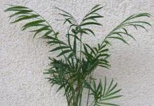 Элегантная пальма