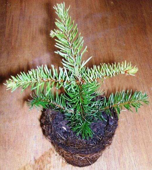 Ель в горшке (Spruce in a pot)