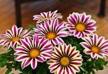 Цветет до морозов гацания