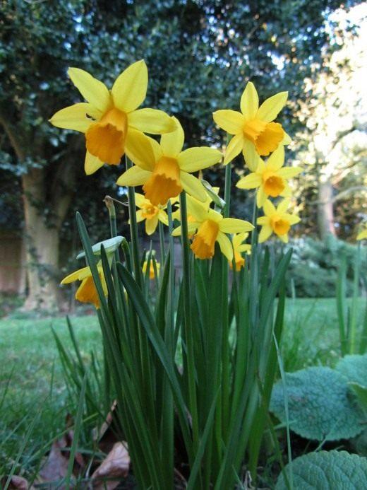 Нарцисс в саду