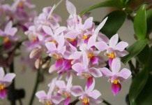 Фаленопсис – бабочки в вашем доме….