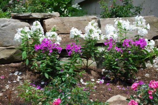 Флокс в саду