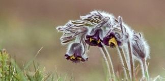 Прострел чернеющий (Pulsatilla nigricans)