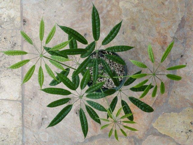 Шеффлера (Schefflera albidobracteata 'Starshine')