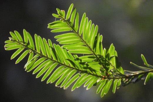 Хвоя тиса ягодного (Taxus baccata)