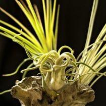 Тилландсия «Голова медузы» (Tillandsia caput-medusae)