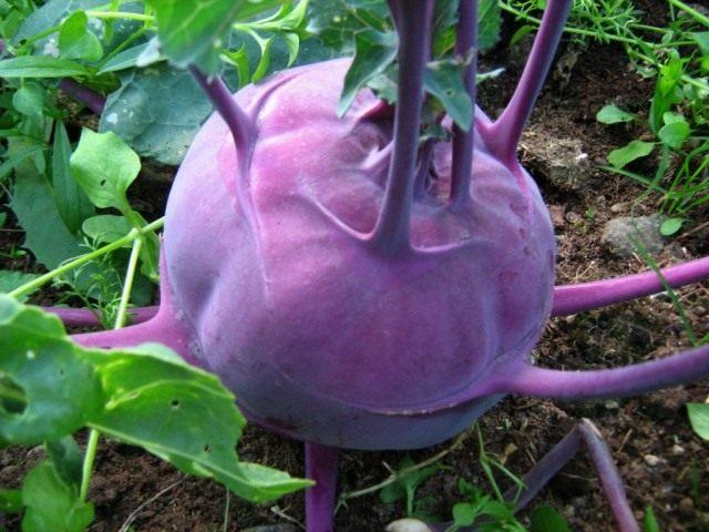 Кольраби фиолетовая