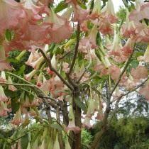 Дурман, или Датура с розовыми цветками
